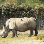 Dublin Zoo, Southern white rhinoceros and Eurasian magpie