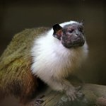 Top ten mammal species reliant on Zoos - 2013, Pied tamarin