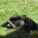 San Diego Zoo, Bonobo who is ashamed or wants to sleep or ....
