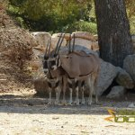 La Barben Zoo, East African oryx