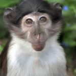 Top ten mammal species reliant on Zoos - 2013, White-naped mangabey