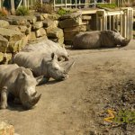 Dublin Zoo, A bunch of southern white rhinos (Ceratotherium simum simum)