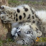 Tierpark Berlin, Snow leopard doing a stretching exercise