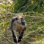 Dublin Zoo, Red-capped mangabey in Gorilla Rainforest
