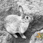 Avifauna Bird Park, A wild rabbit roaming the area