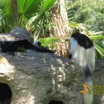 San Diego Zoo Safari Park, Colobus monkeys