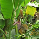 Leipzig Zoo, Common squirrel monkeys exploring the bud of a banana tree