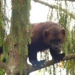 Nordens Ark, Hunnebostrand, Wolverine high up in a tree