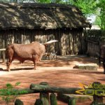 Gelsenkirchen Zoo, Watusi cattle enclosure