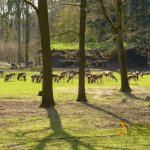 Wildlife park Anholter-Schweiz, Herd of fallow deer in walk-through paddock - typical barn in background