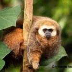 Top ten mammal species reliant on Zoos - 2013, San Martin titi monkey