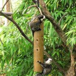 Newquay Zoo, Geoffroy's marmosets