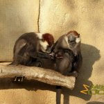 Münster Zoo - Allwetterzoo, Red-capped mangabey (Cercocebus torquatus) parents with infant