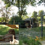 Basel Zoo, Cheetah exhibit with elephant enclosure in background