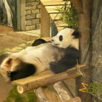 Rhenen Zoo, Ouwehands Dierenpark, Giant panda, lazy as always