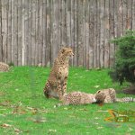 Münster Zoo - Allwetterzoo, Cheetah mum and cubs