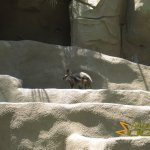 San Diego Zoo, Yellow-footed rock wallaby (Petrogale xanthopus)
