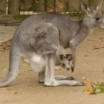 Krefeld Zoo, Eastern grey kangaroo with joey