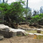 San Diego Zoo, African lion (Panthera leo) exhibit