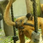 Basel Zoo, Free riding spider monkey baby