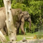 Auckland Zoo, Asian elephants, female (Elephas maximus)