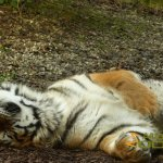 Dublin Zoo, Amur tiger or Siberian tiger - even more relaxed