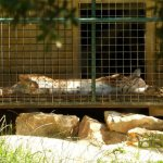 La Barben Zoo, Eurasian lynx suffering from the heat