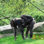 Gelsenkirchen Zoo, Chimpanzee mother with young