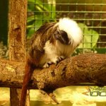Tallinn Zoo, Cotton-top tamarin (Saguinus oedipus)