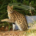 Auckland Zoo, Serval (Leptailurus serval)