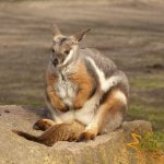 Tierpark Berlin, Yellow-footed rock wallaby (Petrogale xanthopus) in walk-through exhibit