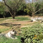 Delhi Zoo, National Zoological Park, Tiger enclosure with three white tigers
