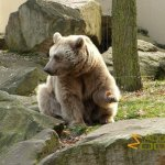 Münster Zoo - Allwetterzoo, Syrian brown bear with decent carrot handling