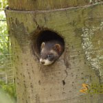 Wildlife park Anholter-Schweiz, European polecat resting in its den