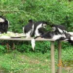 Port Lympne Wild Animal Park, Eastern black and white colobus monkeys