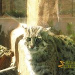 San Francisco Zoo & Gardens, Grumpy fishing cat