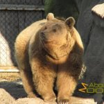 Budapest Zoo, Syrian brown bear