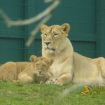 Dublin Zoo, Asian lions, mother and cub