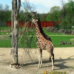 Gelsenkirchen Zoo, Rothschild's giraffe, tree savannah