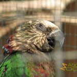 Athens Zoo, Hawk-headed parrot