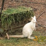 Paphos Zoo, Albino Bennett's wallaby