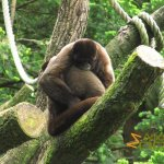 Apenheul Primate Park - Apeldoorn, Two woolly monkeys