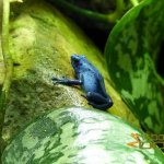 London Zoo, Dyeing poison-arrow frog (Dendrobates tinctorius)