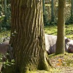 Dublin Zoo, Exotic species (hippo) together with an invasive species (grey squirrel)