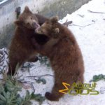 Copenhagen Zoo, Brown bear cubs enjoying themselves