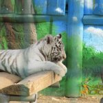 Athens Zoo, White tiger cub