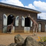 London Zoo, Giraffe with on the right a yardstick on the doorpost