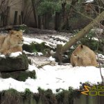 London Zoo, Adolescent Asian lions not bothered by the snow