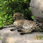 Marwell Wildlife, Cheetah