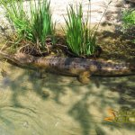 Los Angeles Zoo and Botanical Gardens, False gharial (Tomistoma schlegelii)